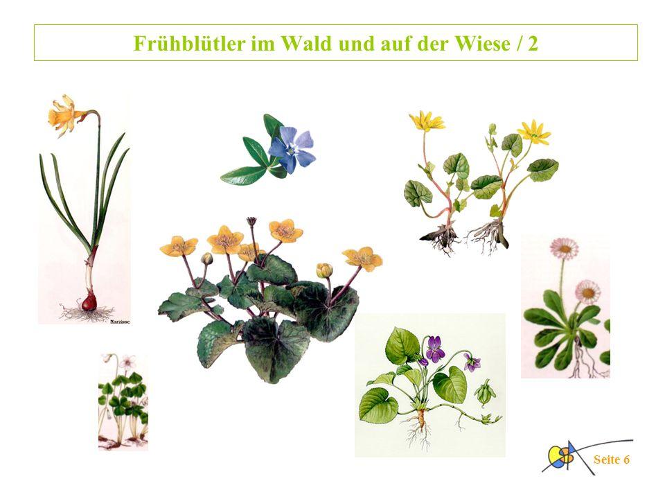 Frühblütler im Wald und auf der Wiese / 2 Seite 6
