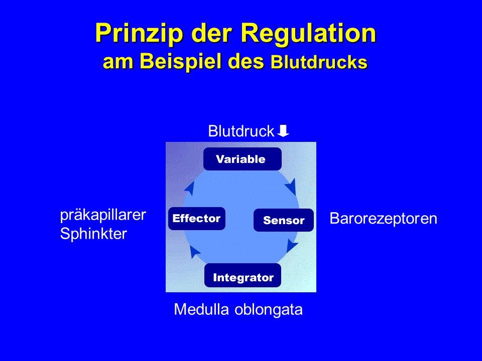 Prinzip der Regulation am Beispiel des Blutdrucks präkapillarer Sphinkter Barorezeptoren Medulla oblongata Blutdruck