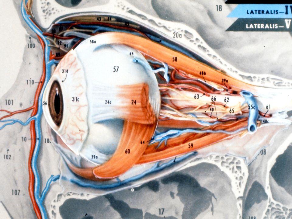 Die Netzhaut Die Netzhaut dient der Aufnahme von Lichtreizen Die Netzhaut dient der Aufnahme von Lichtreizen Entwicklungsgeschichtlich eine bläschenförmige Ausstülpung des Gehirns, das von vorne her einsinkt und zu einer Duplikatur wird Entwicklungsgeschichtlich eine bläschenförmige Ausstülpung des Gehirns, das von vorne her einsinkt und zu einer Duplikatur wird Die innere Zellage bildet die Retina Die innere Zellage bildet die Retina Die äussere Zellage bildet das Pigmentepithel Die äussere Zellage bildet das Pigmentepithel