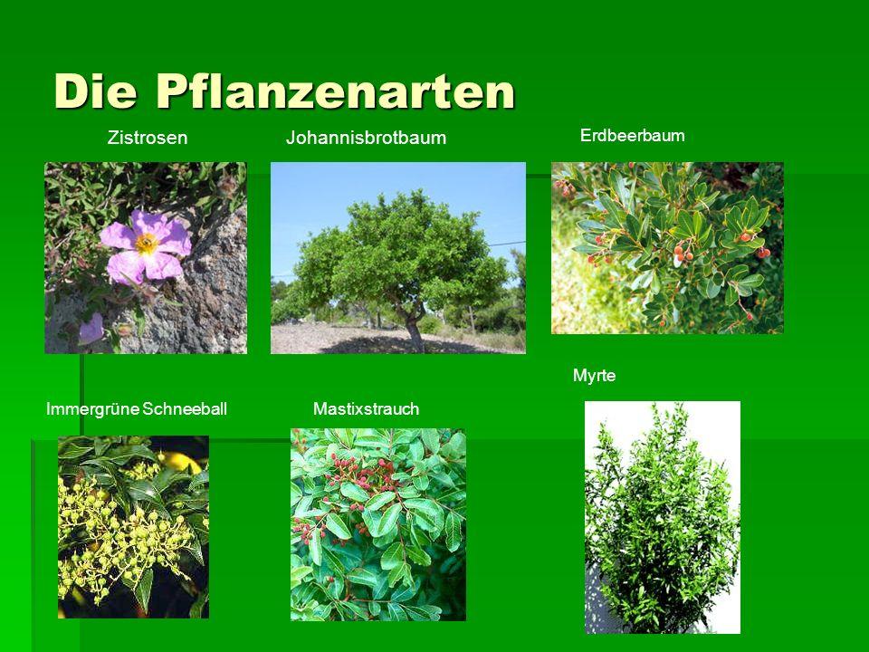 Die Pflanzenarten ZistrosenJohannisbrotbaum Erdbeerbaum Immergrüne SchneeballMastixstrauch Myrte