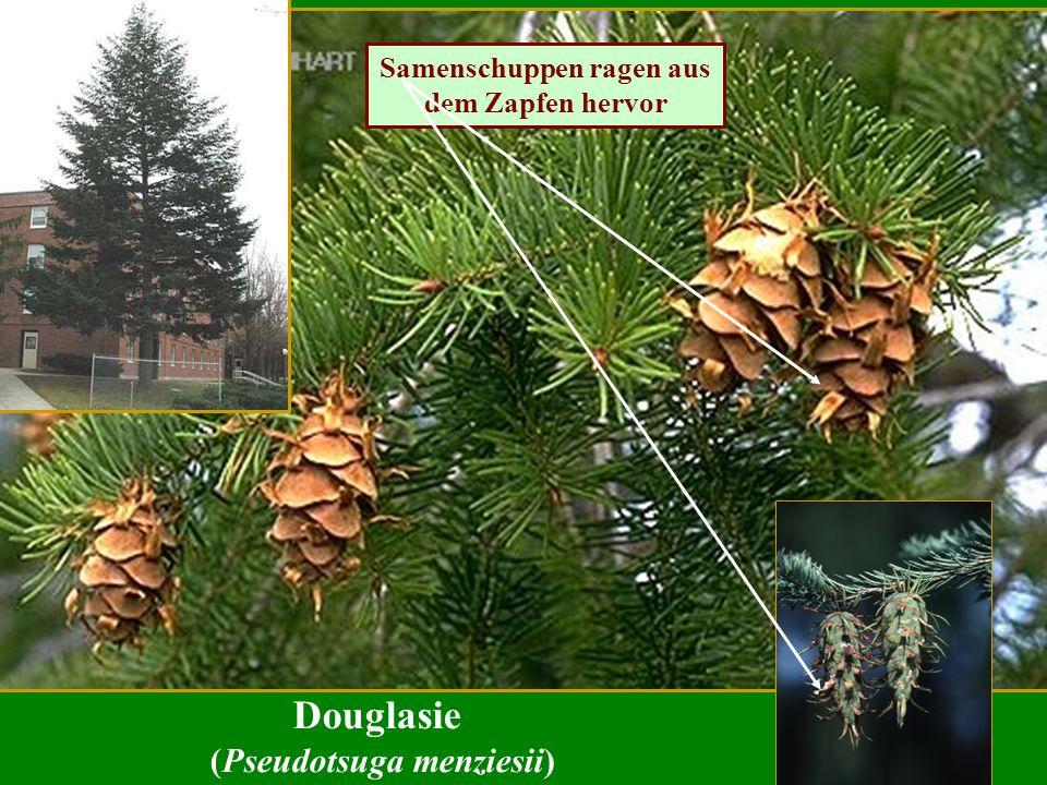 Douglasie (Pseudotsuga menziesii) Samenschuppen ragen aus dem Zapfen hervor