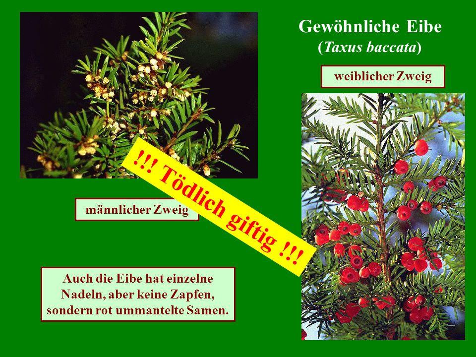 Gewöhnliche Eibe (Taxus baccata) männlicher Zweig weiblicher Zweig Auch die Eibe hat einzelne Nadeln, aber keine Zapfen, sondern rot ummantelte Samen.