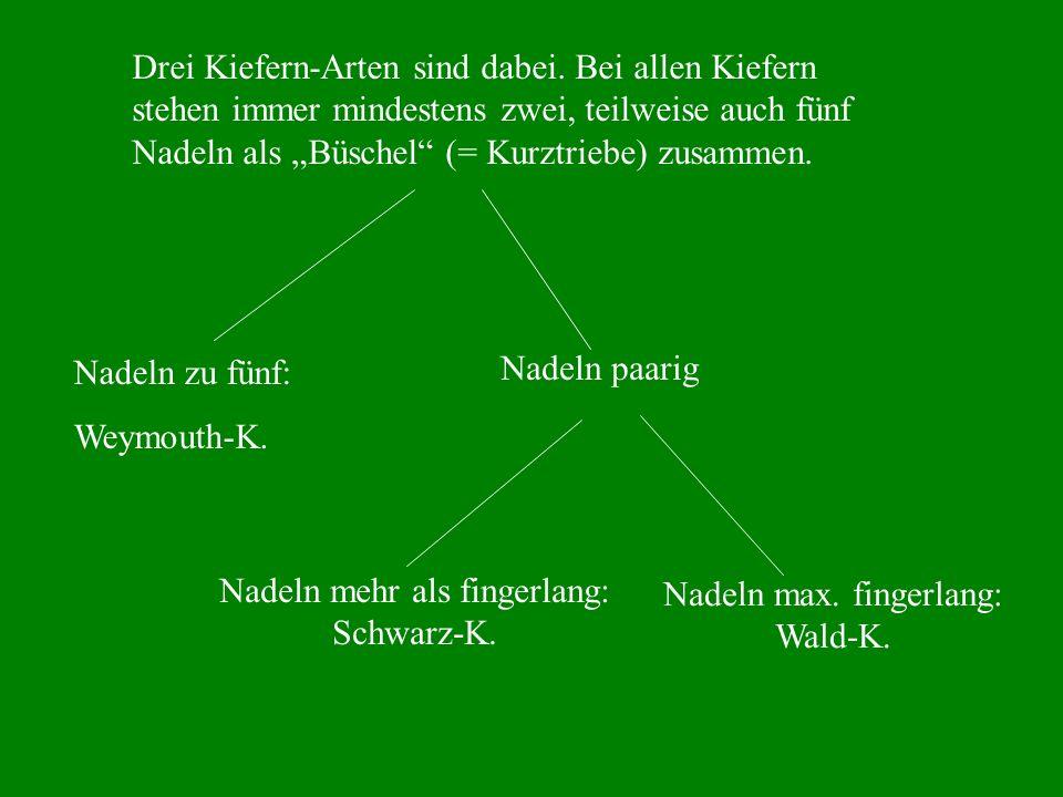 Drei Kiefern-Arten sind dabei. Bei allen Kiefern stehen immer mindestens zwei, teilweise auch fünf Nadeln als Büschel (= Kurztriebe) zusammen. Nadeln