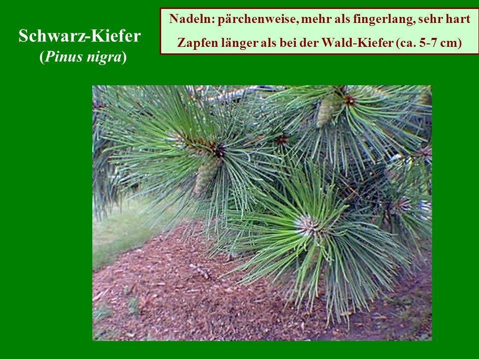 Nadeln: pärchenweise, mehr als fingerlang, sehr hart Zapfen länger als bei der Wald-Kiefer (ca. 5-7 cm) Schwarz-Kiefer (Pinus nigra)