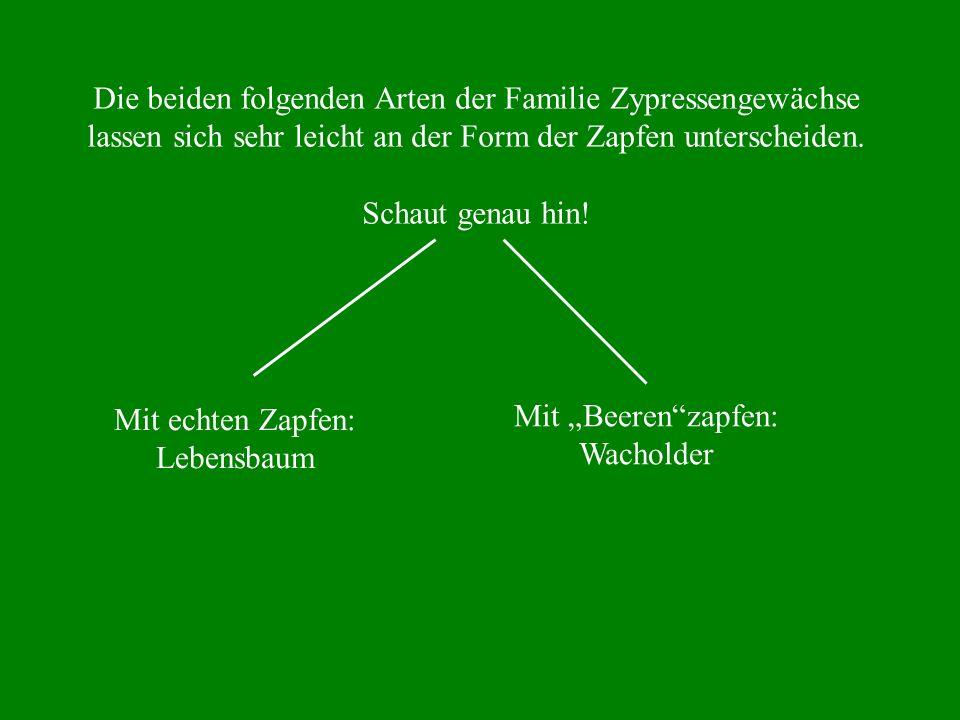 Die beiden folgenden Arten der Familie Zypressengewächse lassen sich sehr leicht an der Form der Zapfen unterscheiden. Schaut genau hin! Mit echten Za