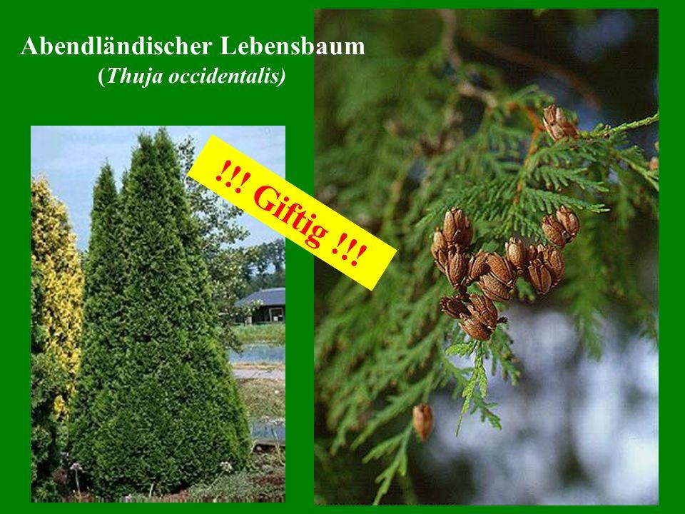 Abendländischer Lebensbaum (Thuja occidentalis) !!! Giftig !!!