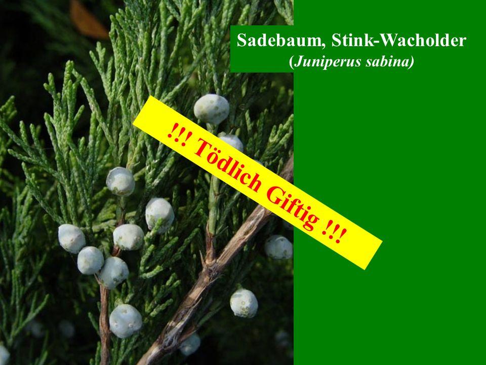 Sadebaum, Stink-Wacholder (Juniperus sabina) !!! Tödlich Giftig !!!