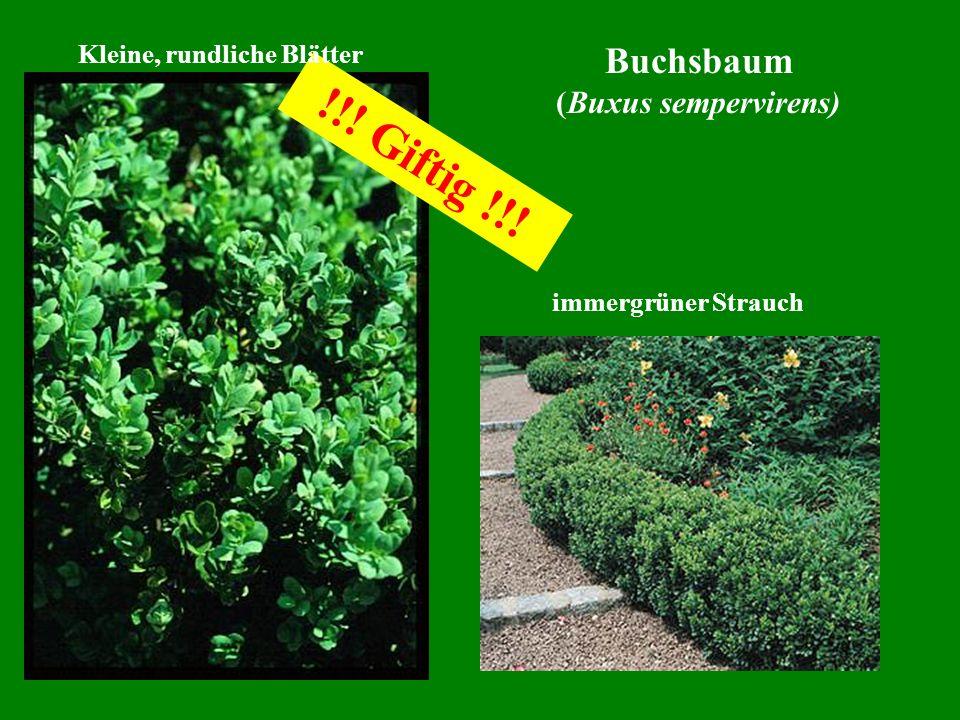 Buchsbaum (Buxus sempervirens) immergrüner Strauch !!! Giftig !!! Kleine, rundliche Blätter