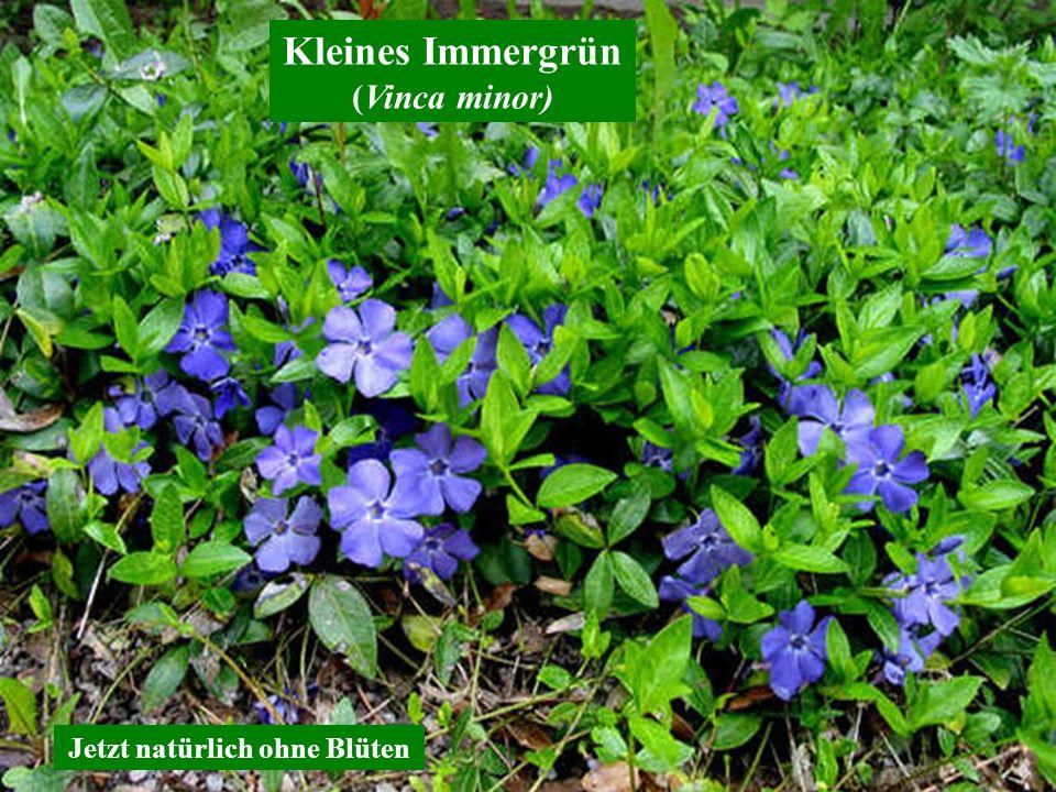 Kleines Immergrün (Vinca minor) Jetzt natürlich ohne Blüten