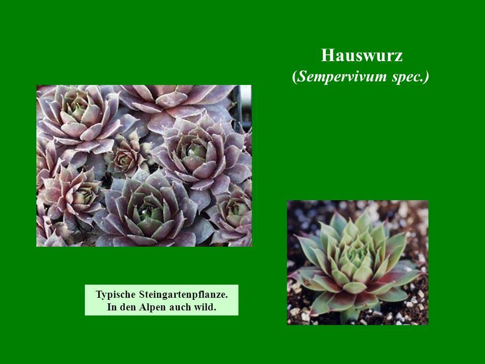 Hauswurz (Sempervivum spec.) Typische Steingartenpflanze. In den Alpen auch wild.