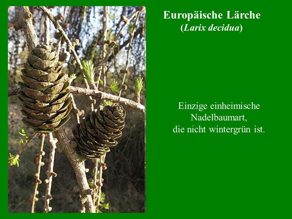 Europäische Lärche (Larix decidua) Einzige einheimische Nadelbaumart, die nicht wintergrün ist.