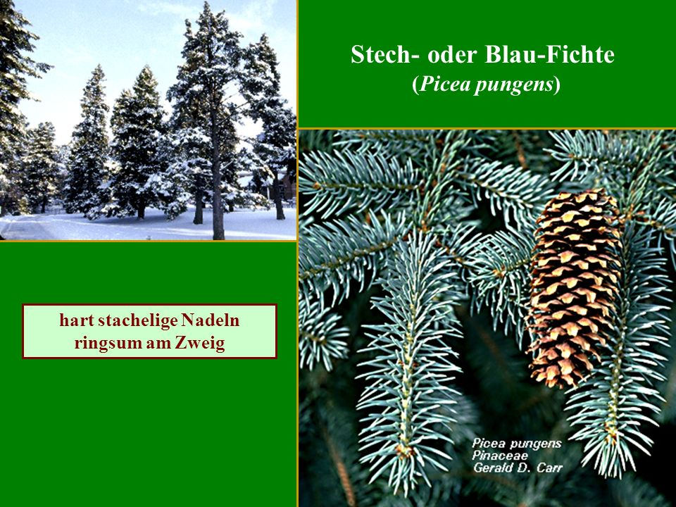 Stech- oder Blau-Fichte (Picea pungens) hart stachelige Nadeln ringsum am Zweig
