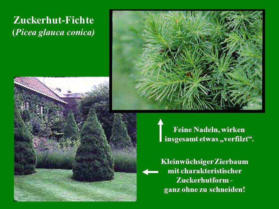 Zuckerhut-Fichte (Picea glauca conica) Kleinwüchsiger Zierbaum mit charakteristischer Zuckerhutform - ganz ohne zu schneiden! Feine Nadeln, wirken ins