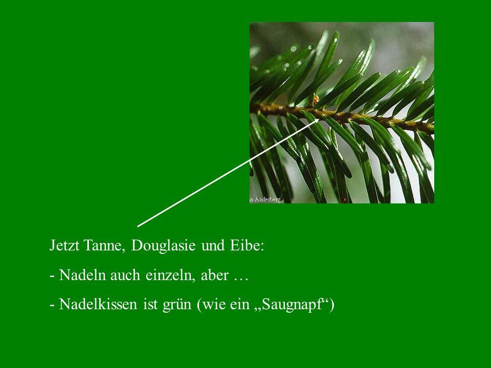Jetzt Tanne, Douglasie und Eibe: - Nadeln auch einzeln, aber … - Nadelkissen ist grün (wie ein Saugnapf)