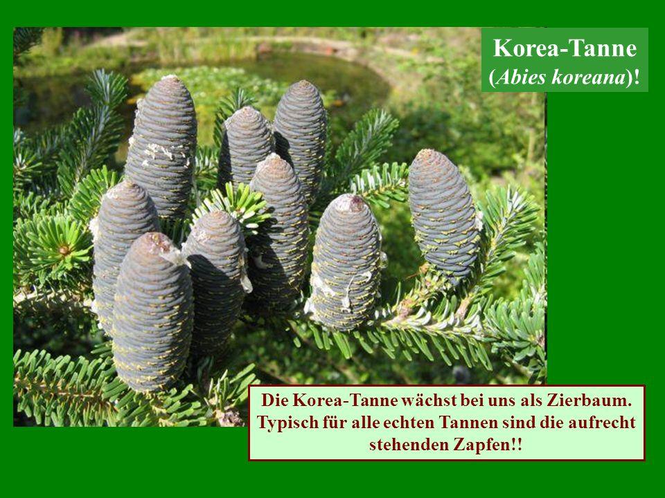 Die Korea-Tanne wächst bei uns als Zierbaum. Typisch für alle echten Tannen sind die aufrecht stehenden Zapfen!! Korea-Tanne (Abies koreana)!
