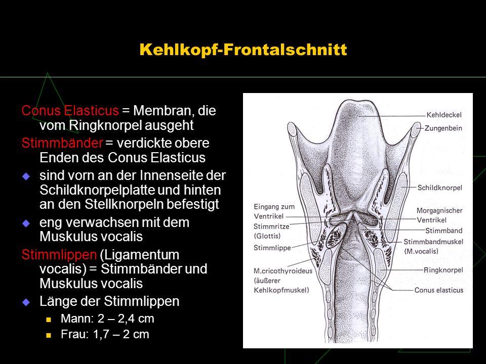 Kehlkopfmuskeln äußere halten den Kehlkopf zusammen, stabilisieren und bewegen ihn nur einer ist direkt an der Stimmgebung beteiligt innere für die Atem- und Stimmfunktion feinere Bewegungen der Knorpel gegeneinander Öffnen der Glottis Schließen der Glottis Spannen der Stimmlippen