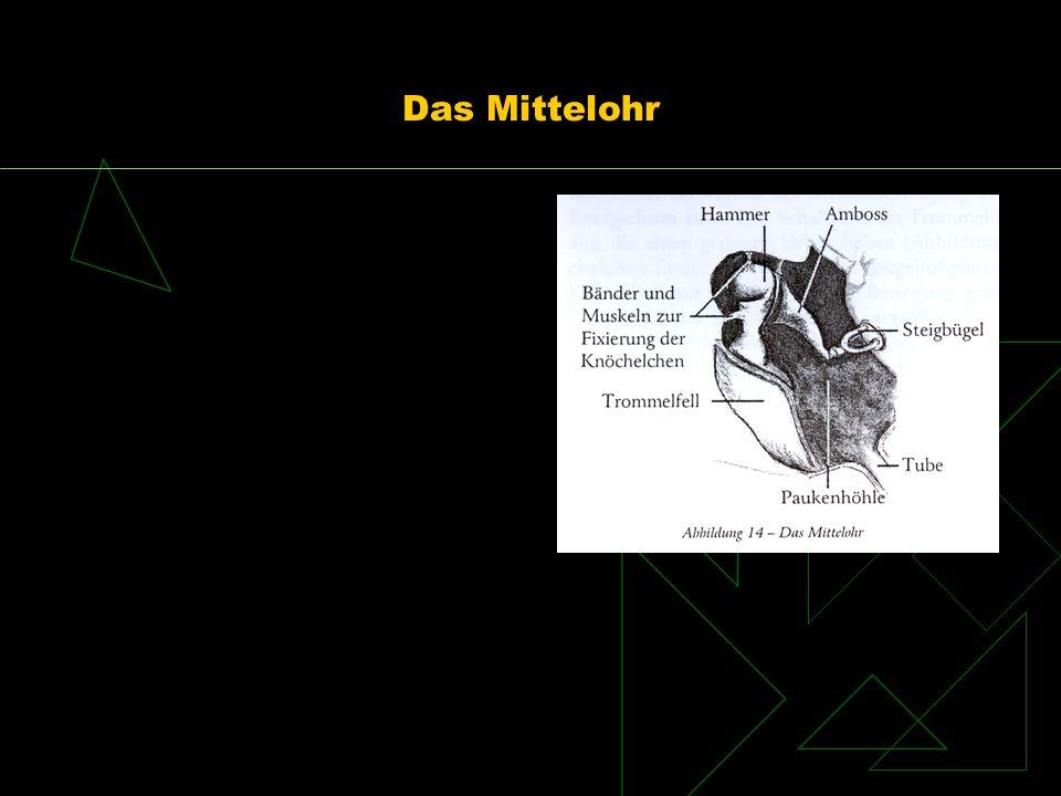 Innenohr eigentliches Hörorgan ist die Schnecke (Cochlea) Umwandlung Schall Nervenimpulse Schneckenartig gewundener Gang mit 2,5 Windungen 2 Systeme ineinander: knöcherne Gänge häutiges Labyrinth 3 flüssigkeitsgefüllte Räume