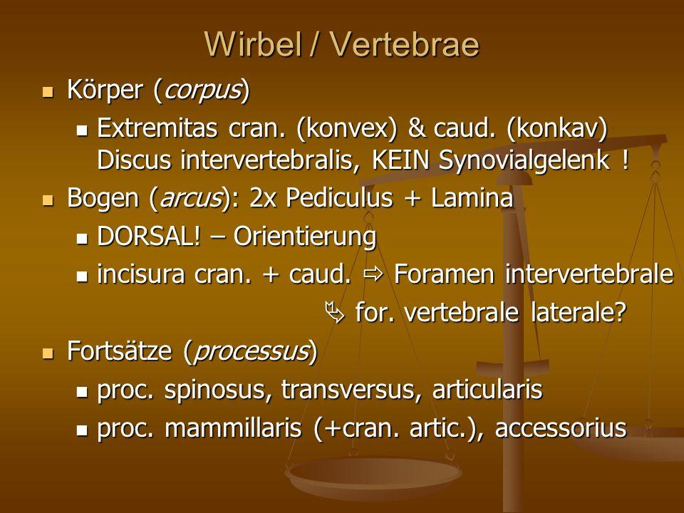 Wirbel / Vertebrae Körper (corpus) Körper (corpus) Extremitas cran.