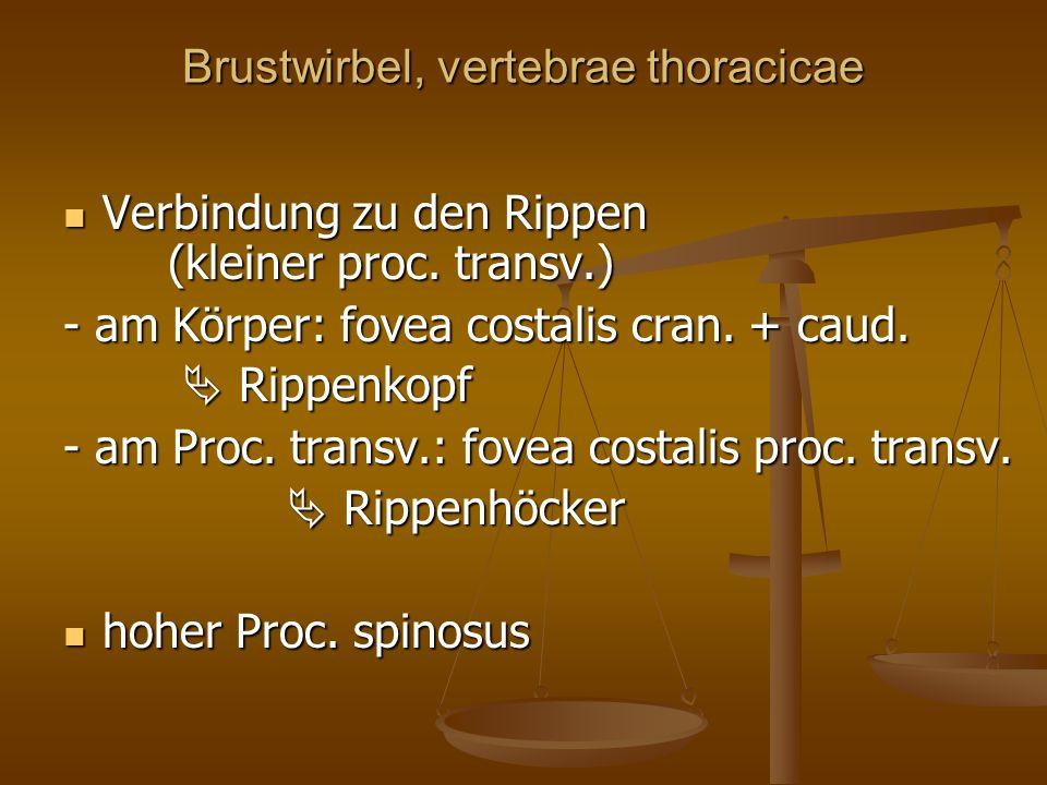 Brustwirbel, vertebrae thoracicae Verbindung zu den Rippen (kleiner proc.