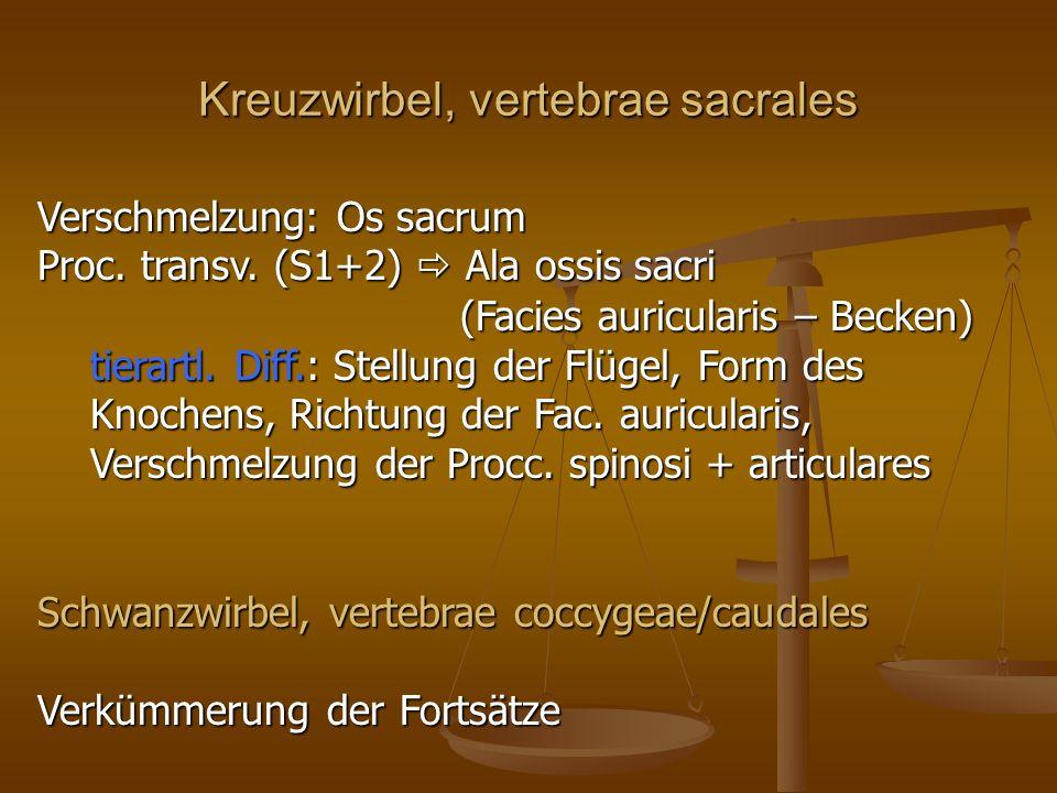 Kreuzwirbel, vertebrae sacrales Verschmelzung: Os sacrum Proc.