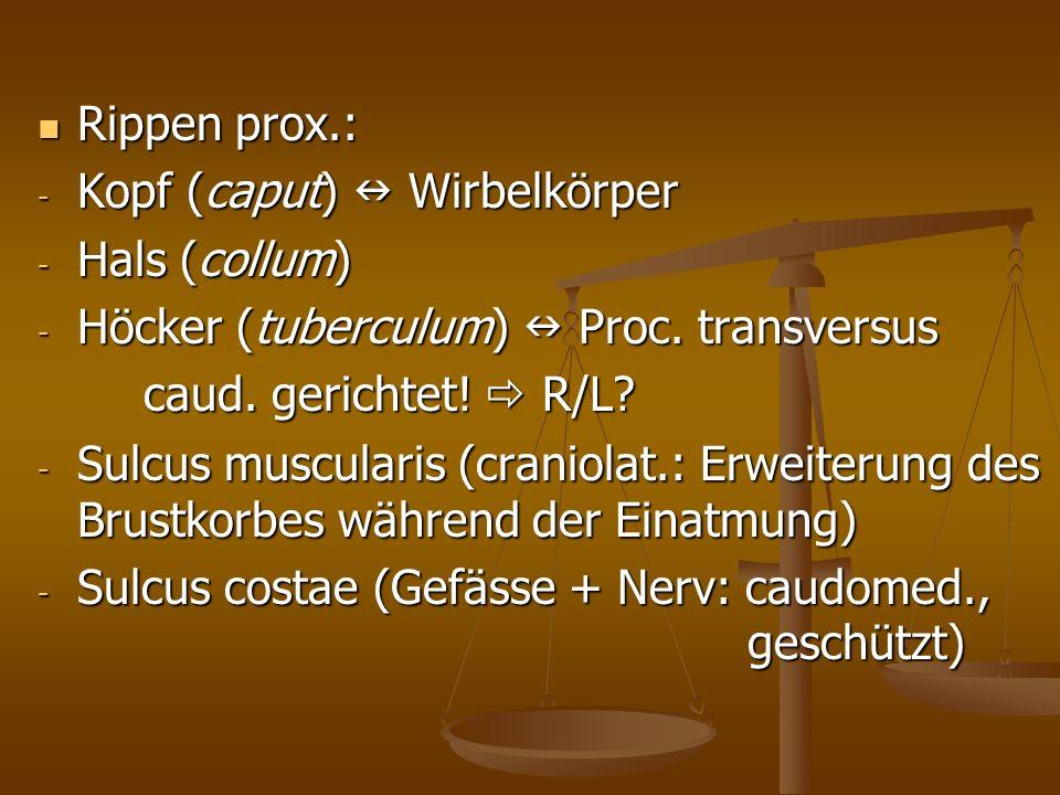 Rippen prox.: Rippen prox.: - Kopf (caput) Wirbelkörper - Hals (collum) - Höcker (tuberculum) Proc.