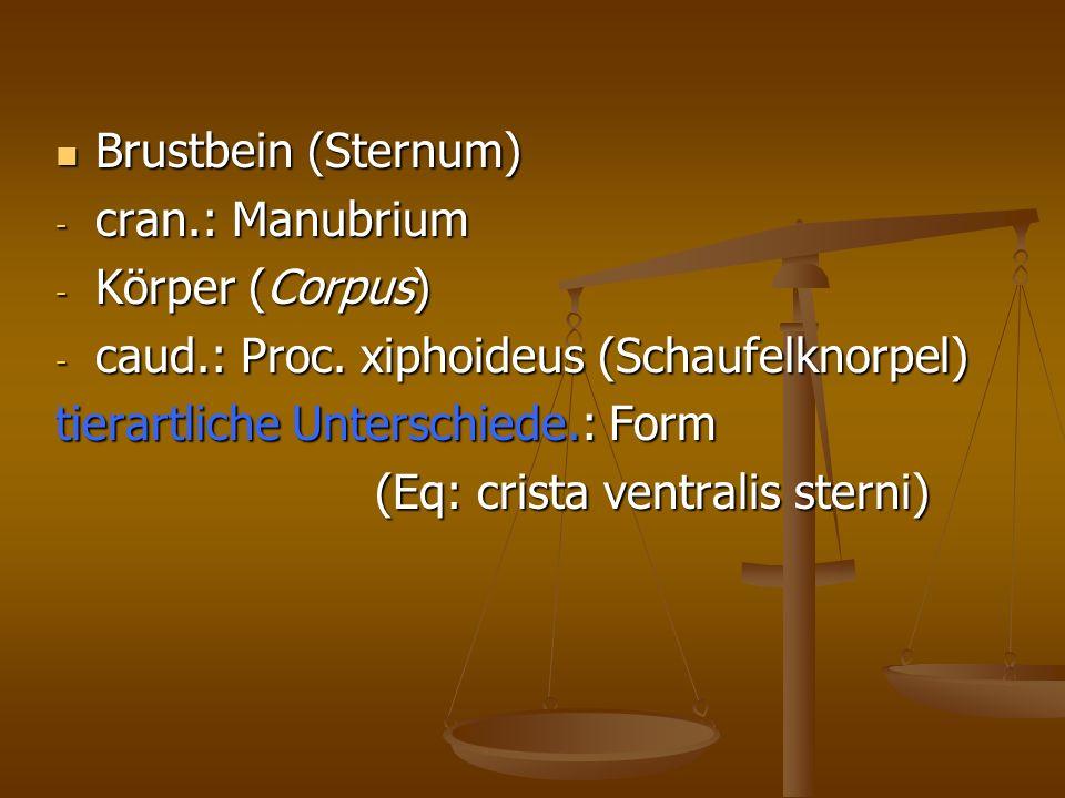 Brustbein (Sternum) Brustbein (Sternum) - cran.: Manubrium - Körper (Corpus) - caud.: Proc.