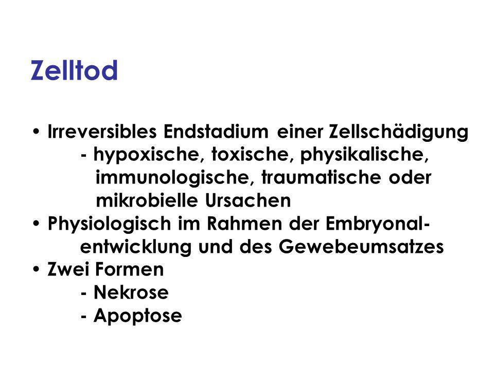 Apoptose-auslösende Faktoren Auslösendes SignalBeispiel ApoptoseWirkung auf HormoneGlukokortikoide +Lymphozyten Erythropoetin -Vorläuferzellen d.