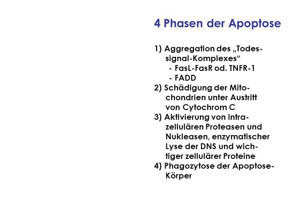 4 Phasen der Apoptose 1) Aggregation des Todes- signal-Komplexes - FasL-FasR od.