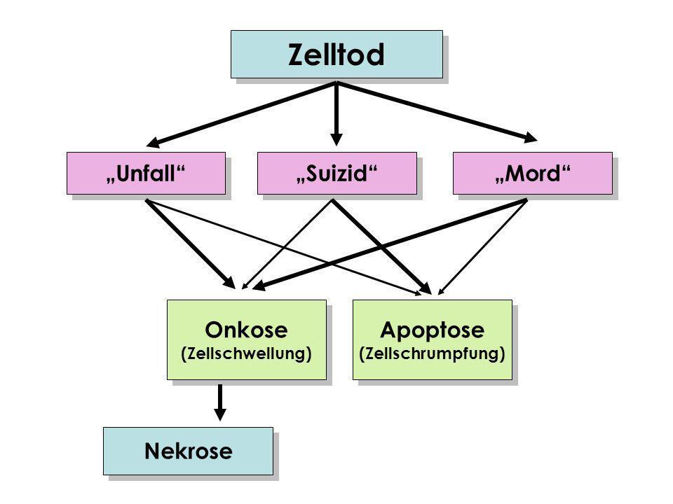 Zelltod Suizid Mord Unfall Onkose (Zellschwellung) Onkose (Zellschwellung) Apoptose (Zellschrumpfung) Apoptose (Zellschrumpfung) Nekrose