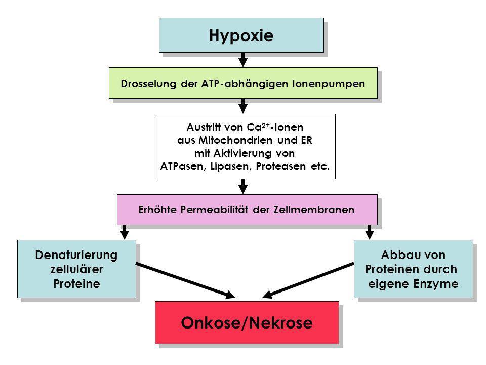 Hypoxie Drosselung der ATP-abhängigen Ionenpumpen Austritt von Ca 2+ -Ionen aus Mitochondrien und ER mit Aktivierung von ATPasen, Lipasen, Proteasen etc.