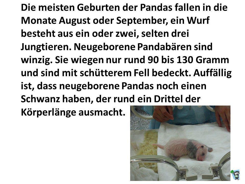 Die Herkunft des Namens Panda ist nicht geklärt. Die in China übliche Bezeichnung für den Panda ist: dà xióng māo ( ).* * Bambusfresser