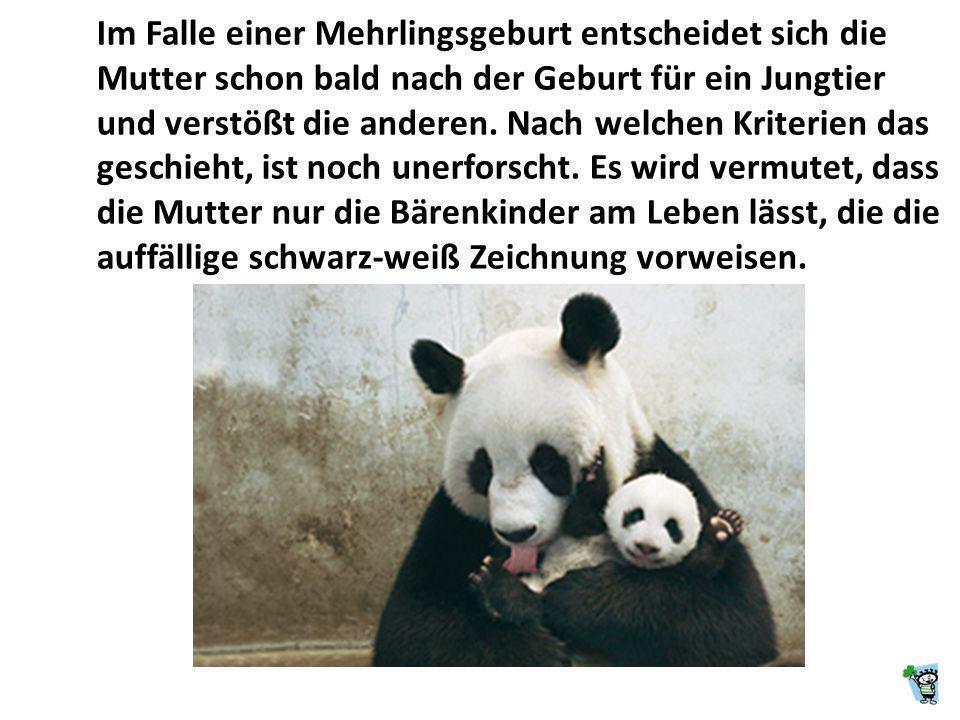 Die meisten Geburten der Pandas fallen in die Monate August oder September, ein Wurf besteht aus ein oder zwei, selten drei Jungtieren. Neugeborene Pa