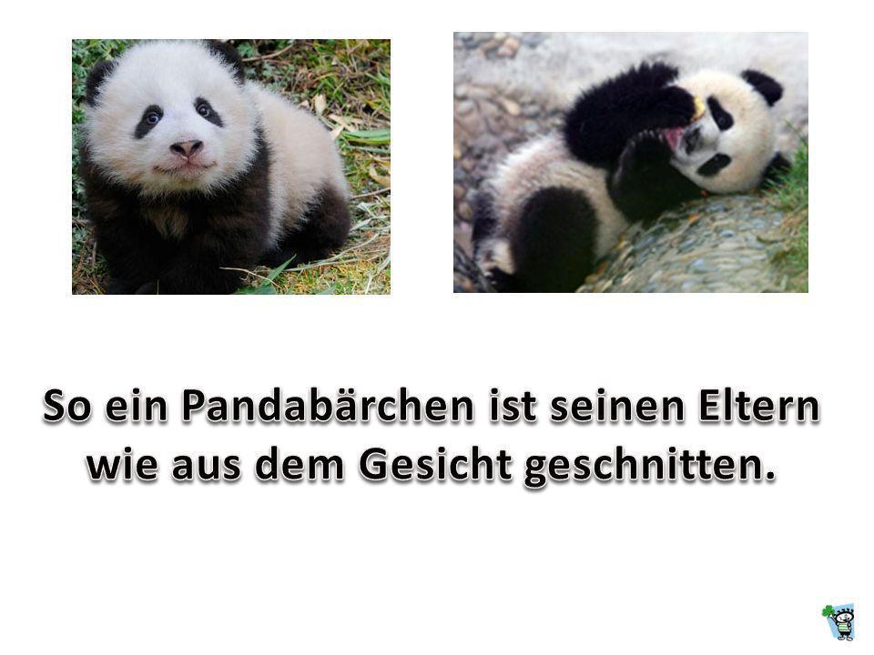 Ein Pandabär ist eine Kreuzung zwischen einem Eisbären und einem Schwarzbären.