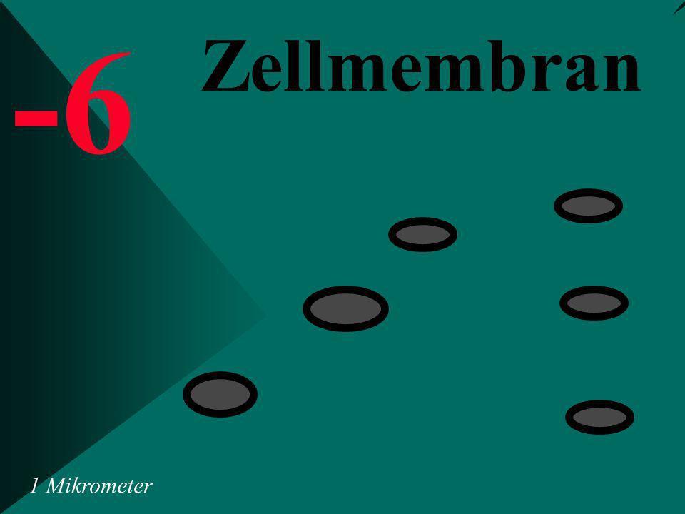-6 Zellmembran 1 Mikrometer