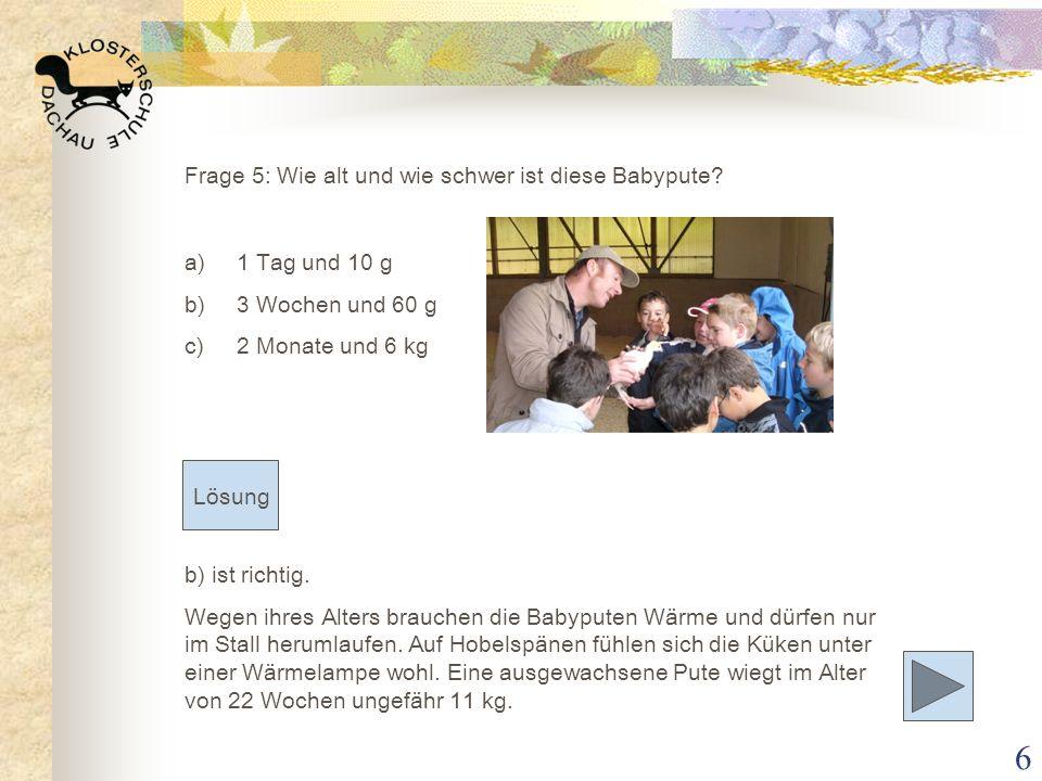 6 b) ist richtig. Wegen ihres Alters brauchen die Babyputen Wärme und dürfen nur im Stall herumlaufen. Auf Hobelspänen fühlen sich die Küken unter ein
