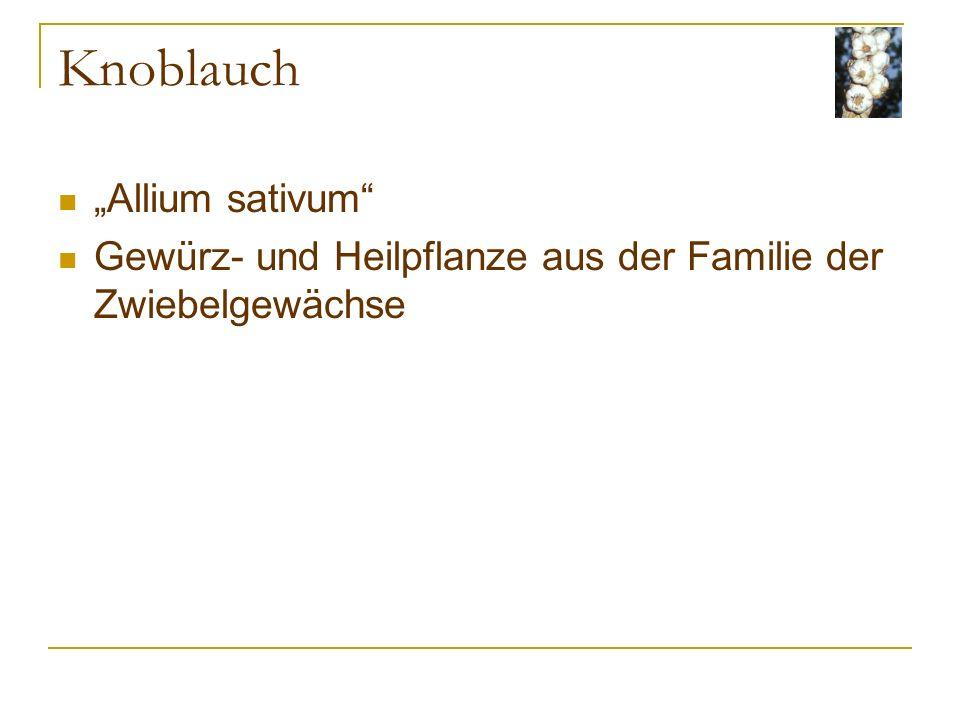 Knoblauch Allium sativum Gewürz- und Heilpflanze aus der Familie der Zwiebelgewächse