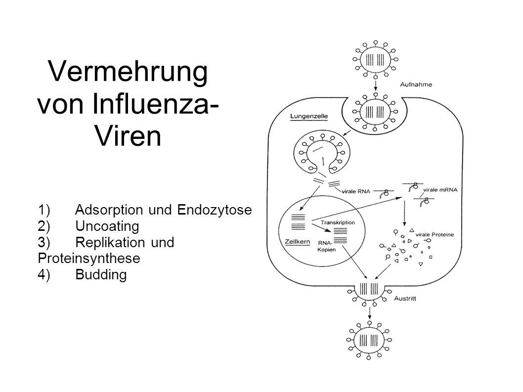 Vermehrung von Influenza- Viren 1) Adsorption und Endozytose 2) Uncoating 3) Replikation und Proteinsynthese 4) Budding