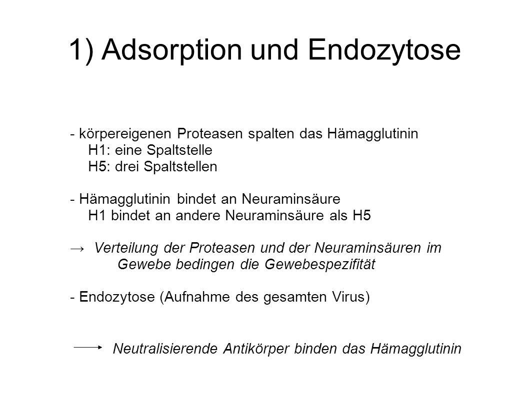1) Adsorption und Endozytose - körpereigenen Proteasen spalten das Hämagglutinin H1: eine Spaltstelle H5: drei Spaltstellen - Hämagglutinin bindet an