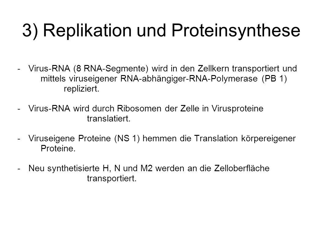 3) Replikation und Proteinsynthese - Virus-RNA (8 RNA-Segmente) wird in den Zellkern transportiert und mittels viruseigener RNA-abhängiger-RNA-Polymer