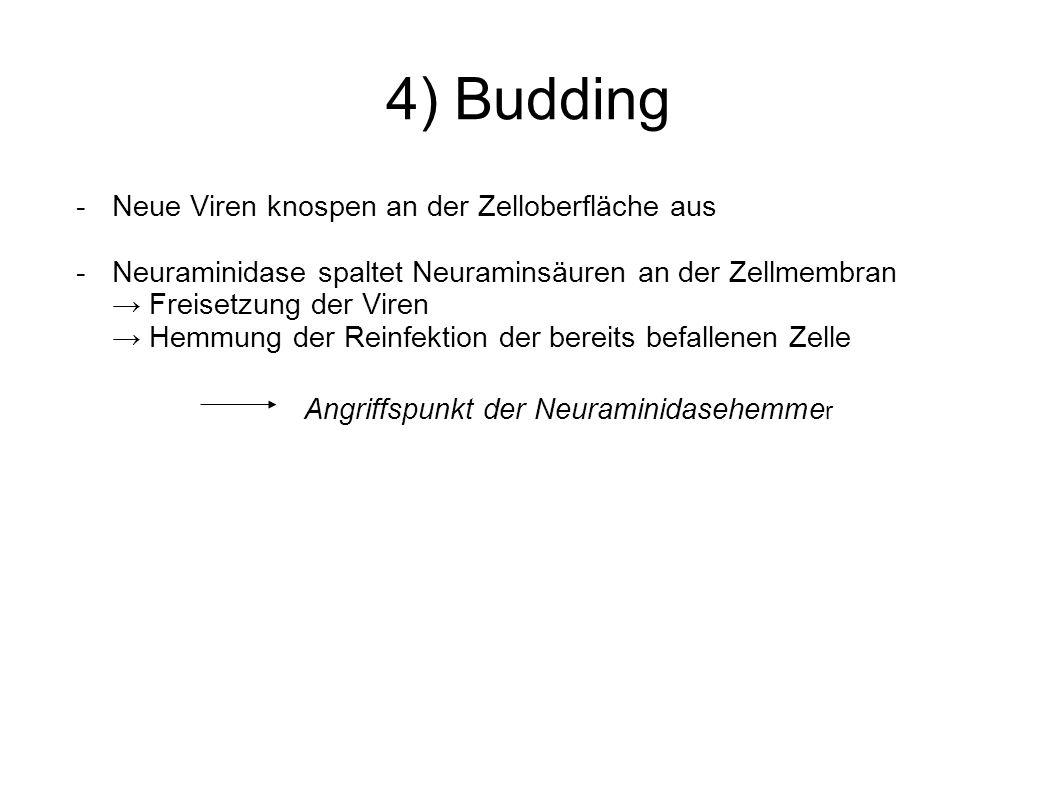 4) Budding - Neue Viren knospen an der Zelloberfläche aus -Neuraminidase spaltet Neuraminsäuren an der Zellmembran Freisetzung der Viren Hemmung der R