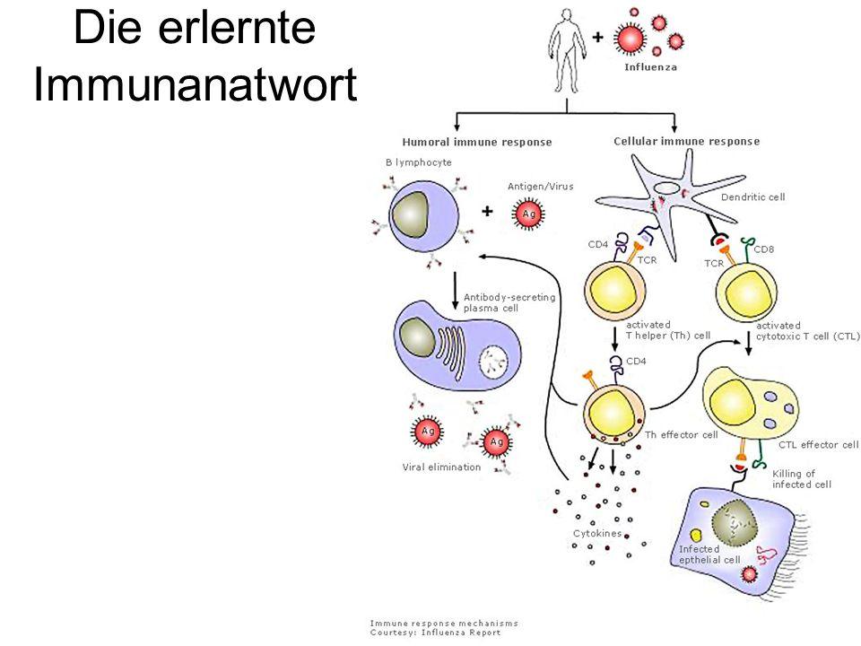 Die erlernte Immunanatwort