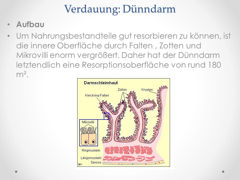 Verdauung: Dünndarm Aufbau Um Nahrungsbestandteile gut resorbieren zu können, ist die innere Oberfläche durch Falten, Zotten und Mikrovilli enorm verg