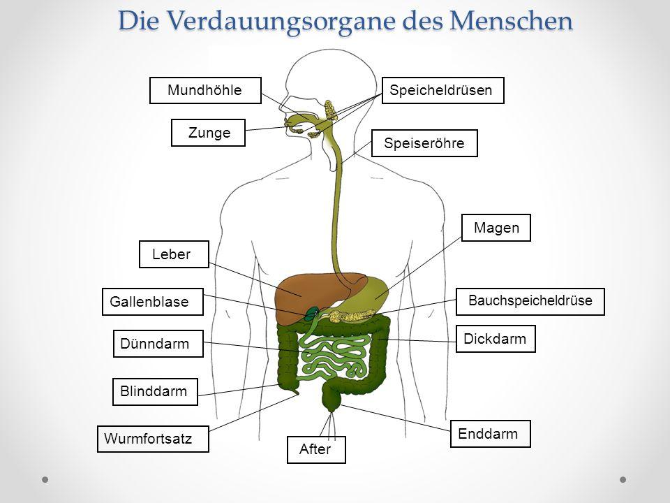 Die Verdauungsorgane des Menschen Mundhöhle Zunge Speicheldrüsen Speiseröhre Leber Bauchspeicheldrüse Dünndarm Blinddarm Dickdarm Enddarm After Wurmfortsatz Gallenblase Magen