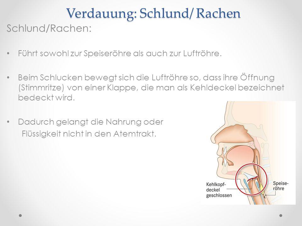 Verdauung: Schlund/ Rachen Schlund/Rachen: Führt sowohl zur Speiseröhre als auch zur Luftröhre. Beim Schlucken bewegt sich die Luftröhre so, dass ihre