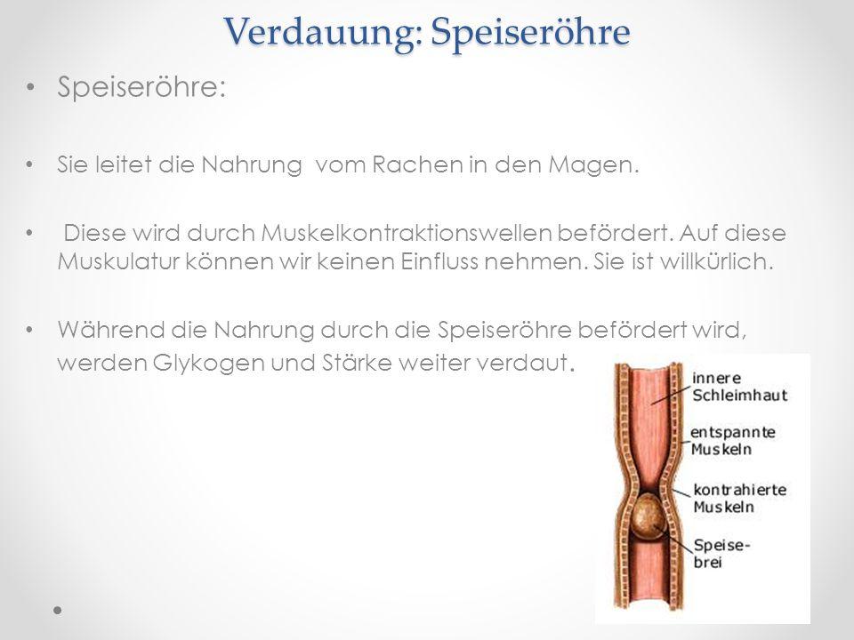 Verdauung: Speiseröhre Speiseröhre: Sie leitet die Nahrung vom Rachen in den Magen. Diese wird durch Muskelkontraktionswellen befördert. Auf diese Mus