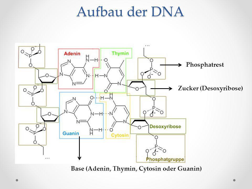 Aufbau der DNA Phosphatrest Zucker (Desoxyribose) Base (Adenin, Thymin, Cytosin oder Guanin)