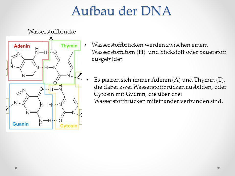 Aufbau der DNA Wasserstoffbrücke Wasserstoffbrücken werden zwischen einem Wasserstoffatom (H) und Stickstoff oder Sauerstoff ausgebildet. Es paaren si