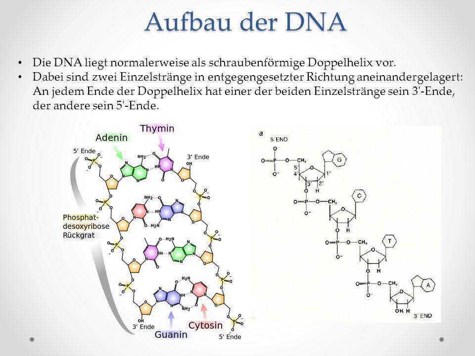 Aufbau der DNA Die DNA liegt normalerweise als schraubenförmige ...