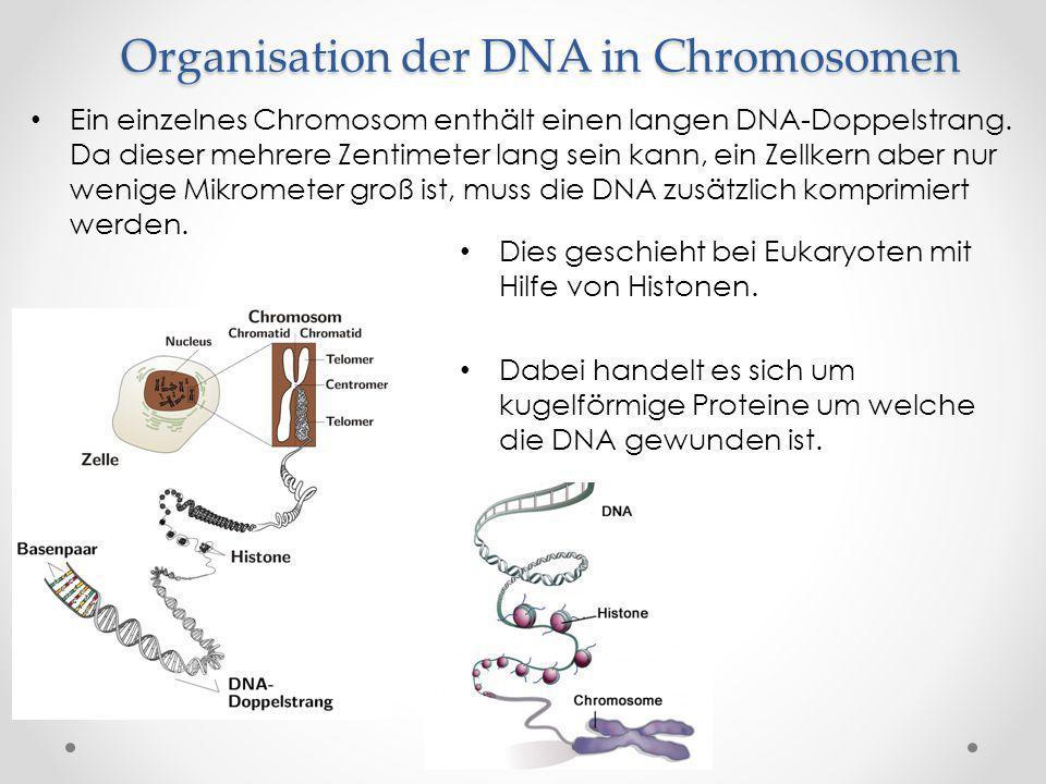 Organisation der DNA in Chromosomen Dies geschieht bei Eukaryoten mit Hilfe von Histonen. Dabei handelt es sich um kugelförmige Proteine um welche die