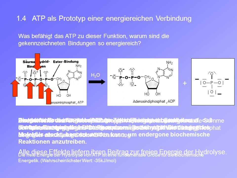 1.4 ATP als Prototyp einer energiereichen Verbindung Was befähigt das ATP zu dieser Funktion, warum sind die gekennzeichneten Bindungen so energiereich.